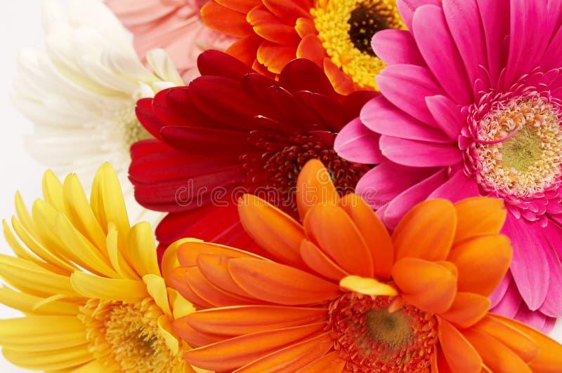 ζωηρόχρωμο gerbera λουλουδιώ& στοκ εικόνα με δικαίωμα ελεύθερης χρήσης