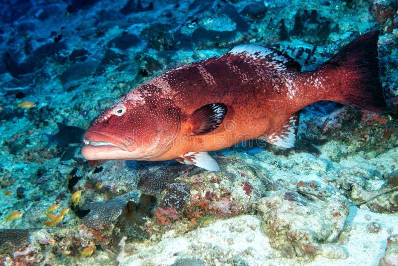 Ζωηρόχρωμο grouper στον ωκεανό στοκ εικόνες