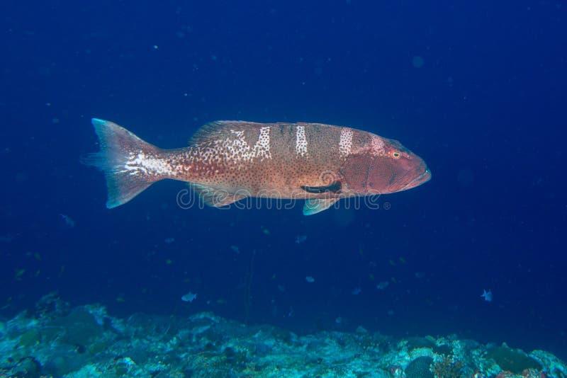 Ζωηρόχρωμο grouper στον ωκεανό στοκ φωτογραφίες