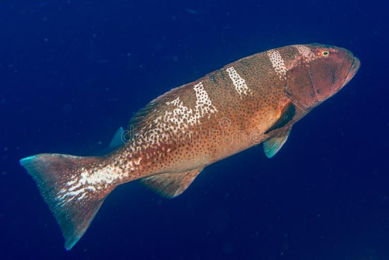 Ζωηρόχρωμο grouper στον ωκεανό στοκ φωτογραφία με δικαίωμα ελεύθερης χρήσης