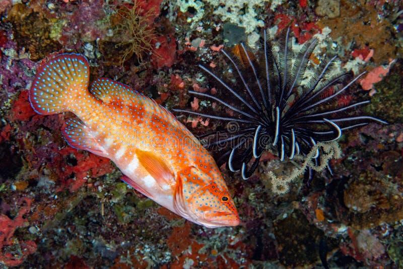 Ζωηρόχρωμο grouper στο σκληρό κοράλλι στοκ εικόνες