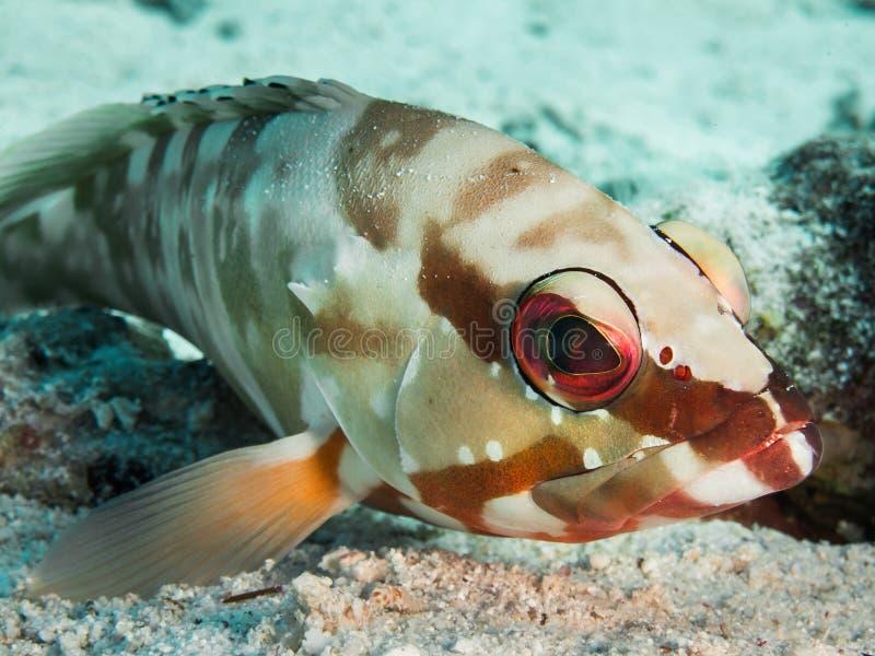 Ζωηρόχρωμο grouper blacktip στοκ φωτογραφίες