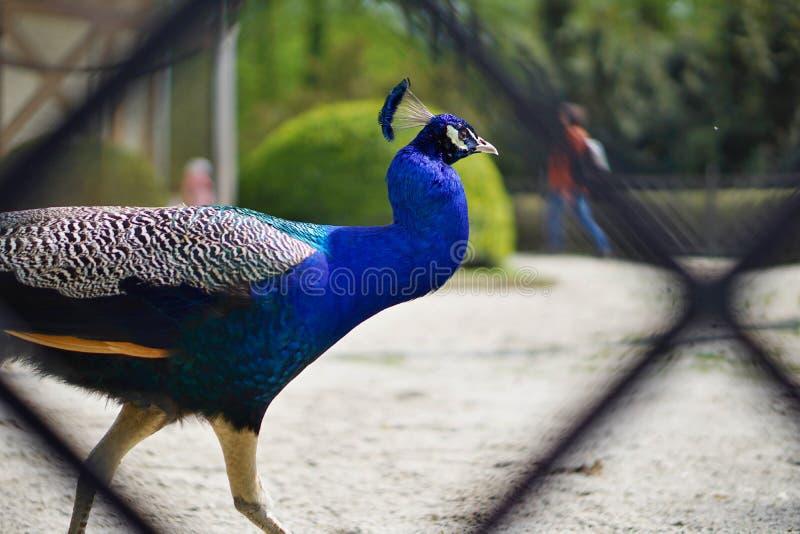 Ζωηρόχρωμο peacock που παρουσιάζει φτερά στο πάρκο κάστρων ως σύμβολο της υπερηφάνειας στοκ εικόνα με δικαίωμα ελεύθερης χρήσης