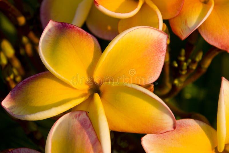 ζωηρόχρωμο plumeria λουλουδιώ στοκ εικόνες