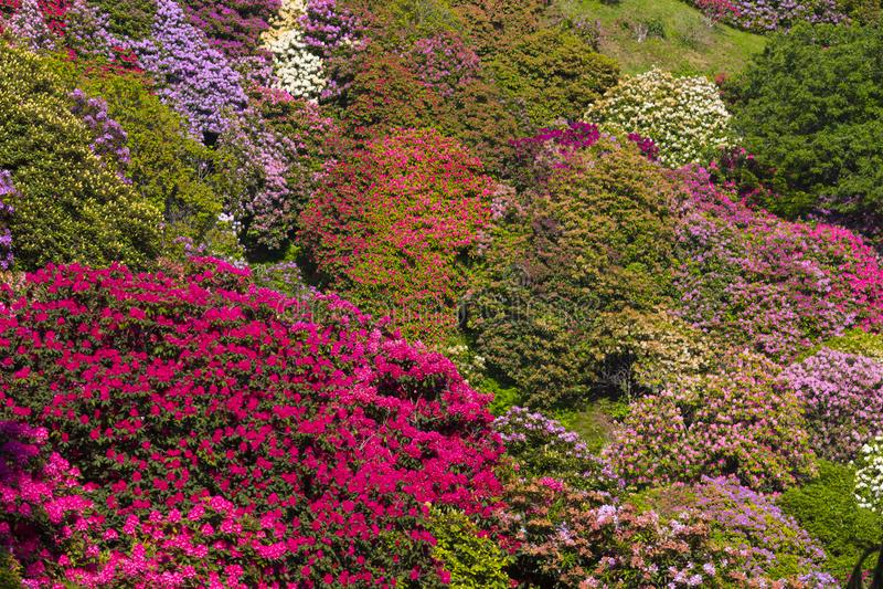 Ζωηρόχρωμο rhododendron, Ιταλία στοκ φωτογραφία με δικαίωμα ελεύθερης χρήσης