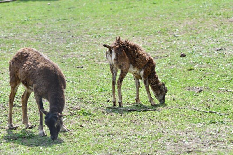 Ζωική αγάπη της μητέρας mouflon με λίγο αρνί που βόσκει τη χλόη στοκ εικόνα με δικαίωμα ελεύθερης χρήσης