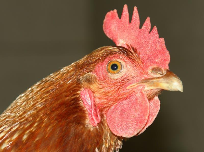 ζωική αγροτική κότα κοτόπουλου στοκ φωτογραφία με δικαίωμα ελεύθερης χρήσης