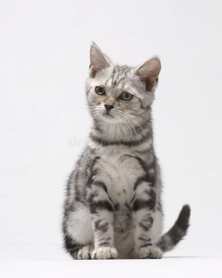 ζωική γάτα στοκ εικόνα με δικαίωμα ελεύθερης χρήσης
