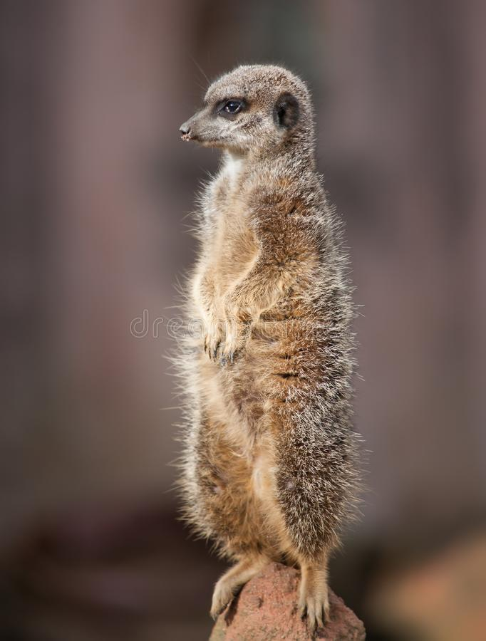 Ζωική ζωή στην Αφρική: προσεκτικό meercat στοκ εικόνες με δικαίωμα ελεύθερης χρήσης