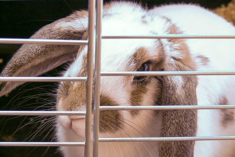 Ζωική προστασία φυλακή Το άσπρο κουνέλι κοιτάζει μέσω των φραγμών στοκ εικόνα