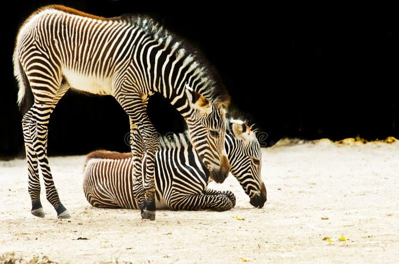 ζωικός ζωολογικός κήπος στοκ εικόνες