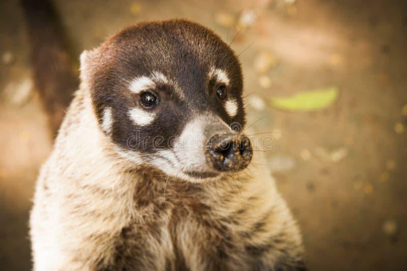 Ζωικό άγριο χαριτωμένο πορτρέτο προσώπου Coati στοκ φωτογραφία