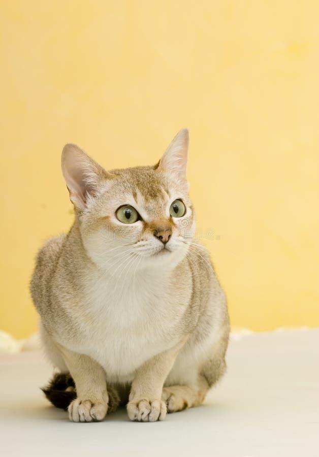 ζωικό κατοικίδιο ζώο γατώ στοκ εικόνα με δικαίωμα ελεύθερης χρήσης
