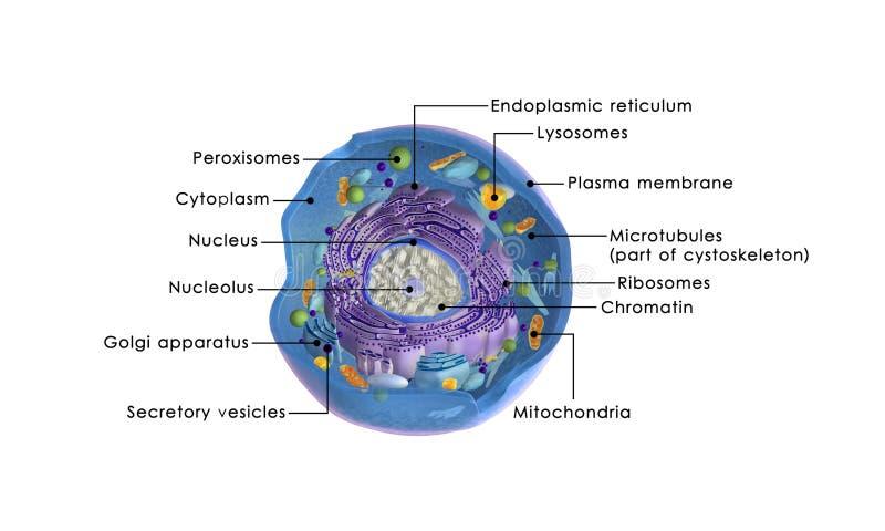 Ζωικό κύτταρο απεικόνιση αποθεμάτων