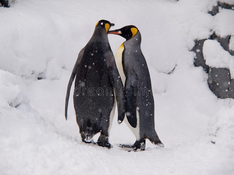 ζωολογικός κήπος βασιλιάδων ζευγών asahiyama penguins στοκ φωτογραφίες με δικαίωμα ελεύθερης χρήσης