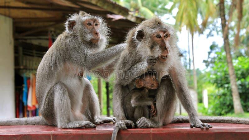 ζωολογικός κήπος πιθήκων της οικογενειακής Ινδονησίας του Μπαλί Θηλασμός πιθήκων μωρών Τροφές Mom Ο μπαμπάς φροντίζει οικογενειακ στοκ εικόνα
