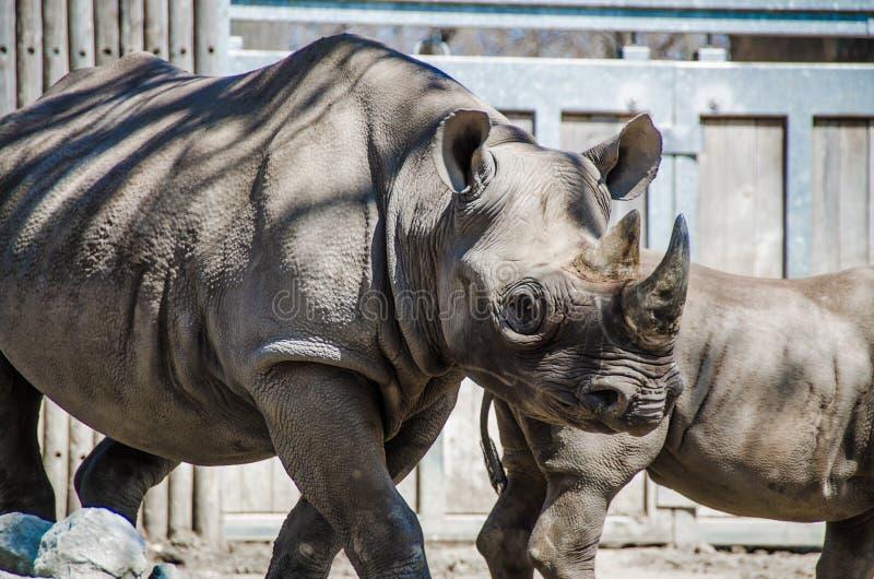 Ζωολογικός κήπος πάρκων του Λίνκολν - ρινόκερος στοκ εικόνα με δικαίωμα ελεύθερης χρήσης