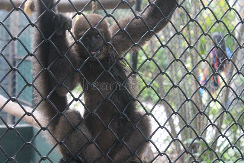 ζωολογικός κήπος πιθήκων στοκ φωτογραφίες