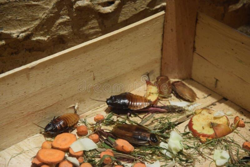 Ζωολογικός κήπος σε Opole, κατσαρίδα της Μαδαγασκάρης στοκ φωτογραφίες
