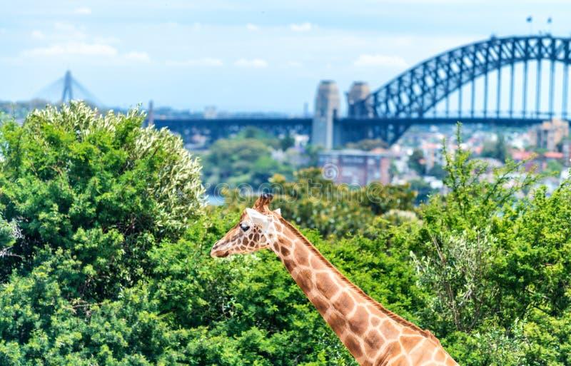 Ζωολογικός κήπος Taronga, Σίδνεϊ Giraffe και πόλεων υπόβαθρο στοκ φωτογραφία