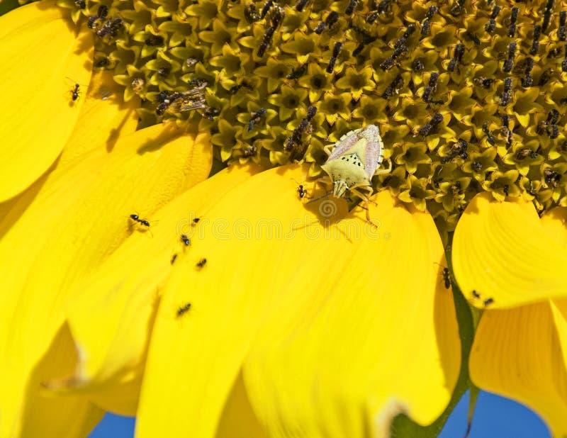 Ζωύφιο ασπίδων στο γιγαντιαίο κίτρινο ηλίανθο στοκ φωτογραφίες