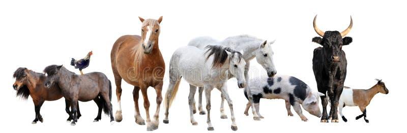 Ζώα αγροκτημάτων στοκ εικόνα