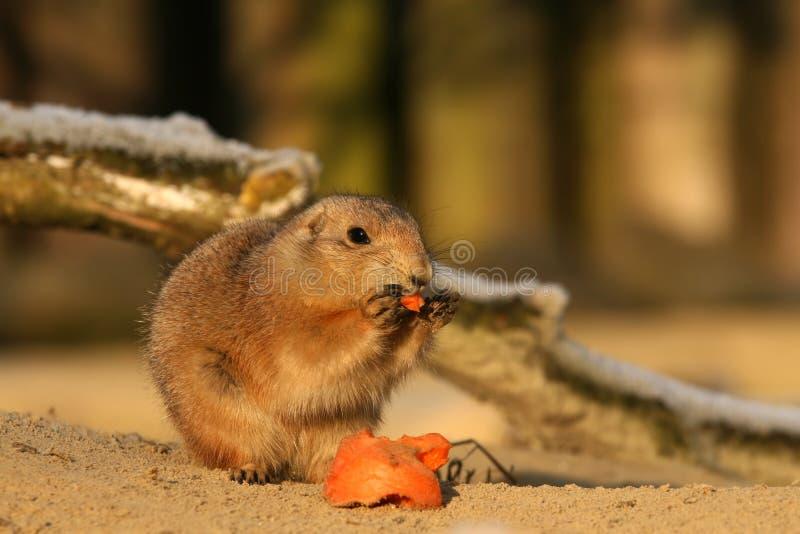 Ζώα: Σκυλί λιβαδιών που τρώει ένα καρότο στοκ εικόνες