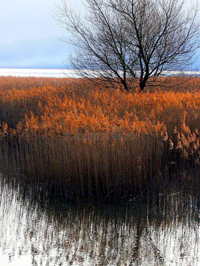 Ζώνη καλάμων στην ακτή λιμνών στον ήλιο βραδιού στοκ φωτογραφία με δικαίωμα ελεύθερης χρήσης
