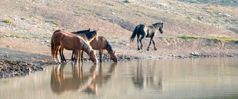Ζώνη των άγριων αλόγων που απεικονίζει στο νερό πίνοντας στο waterhole στην άγρια σειρά αλόγων βουνών Pryor στη Μοντάνα ΗΠΑ στοκ εικόνα