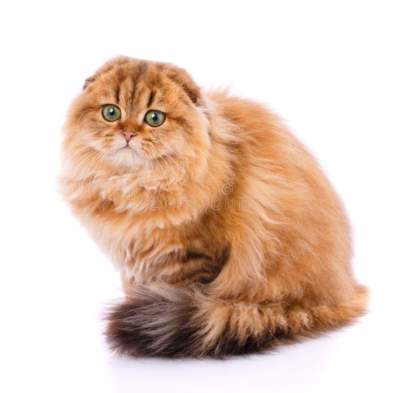 Ζώο, γάτα, έννοια κατοικίδιων ζώων - σκωτσέζικη γάτα πτυχών στοκ εικόνες με δικαίωμα ελεύθερης χρήσης