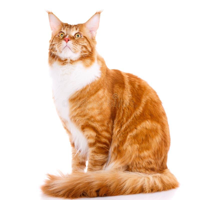 Ζώο, γάτα, έννοια κατοικίδιων ζώων - mainecoon στοκ φωτογραφία με δικαίωμα ελεύθερης χρήσης