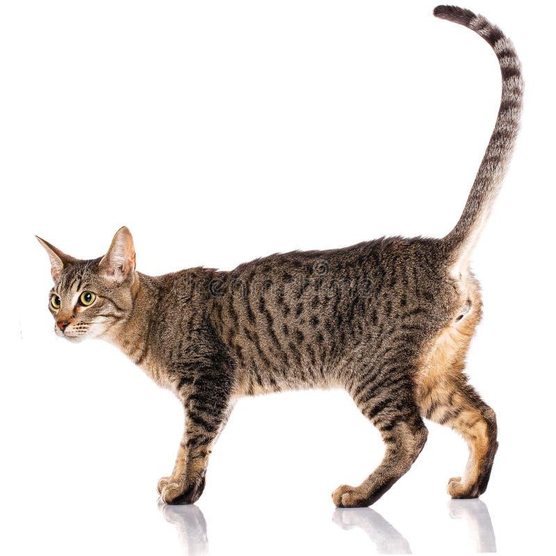 Ζώο, γάτα, έννοια κατοικίδιων ζώων - γάτα Serengeti στοκ φωτογραφίες με δικαίωμα ελεύθερης χρήσης