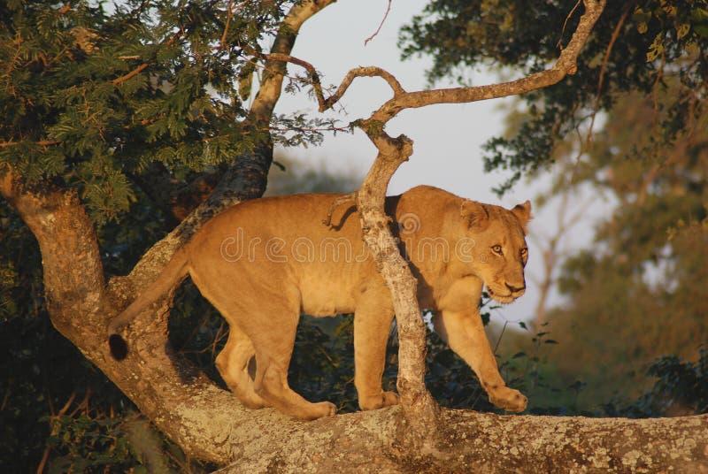 ζώο που είναι στενό λιοντάρι που γίνεται το σαφάρι εικόνων πάρκων πολύ στοκ φωτογραφίες