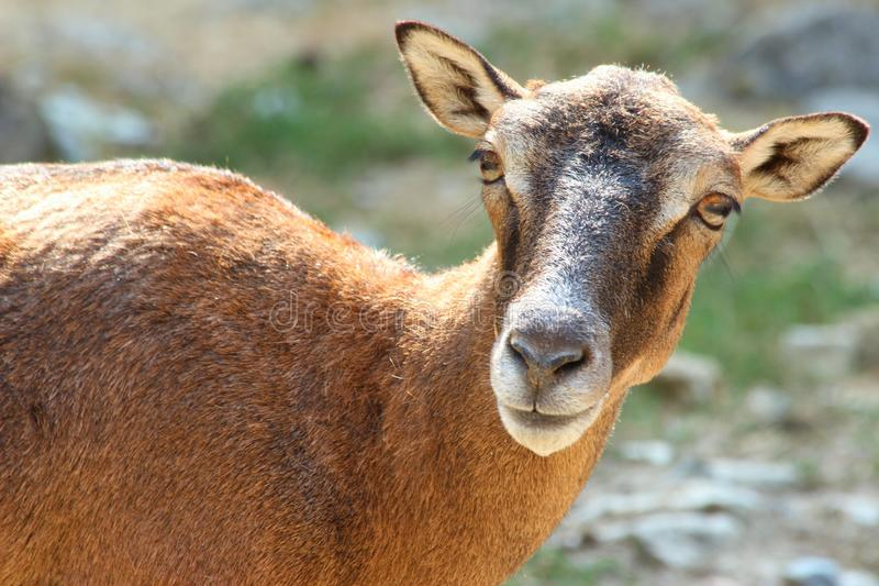 Ζώο στο πάρκο άγριας φύσης στο κακό mergentheim στοκ εικόνες