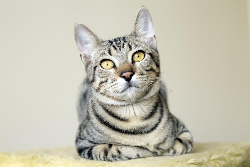 Ζώο της Pet  χαριτωμένη γάτα στοκ φωτογραφίες