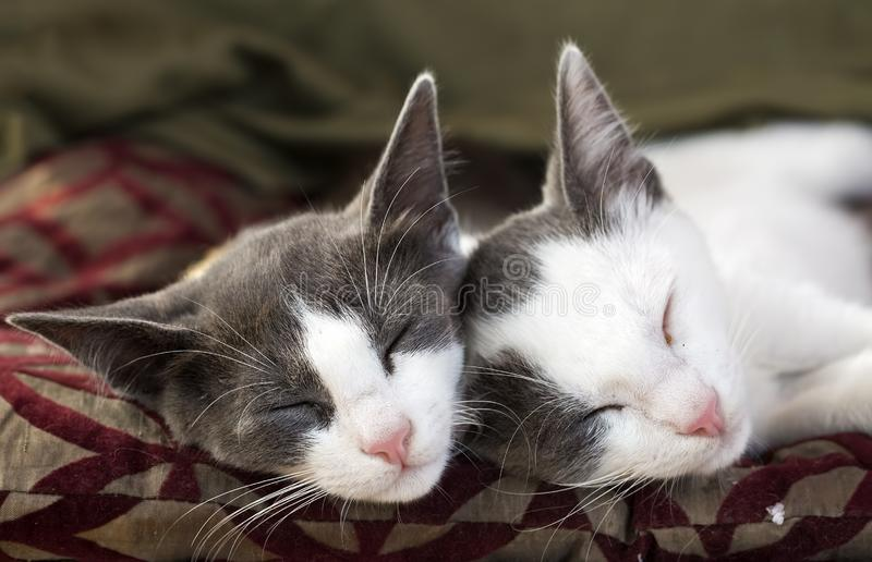 Ζώο της Pet  χαριτωμένη γάτα στοκ φωτογραφίες με δικαίωμα ελεύθερης χρήσης