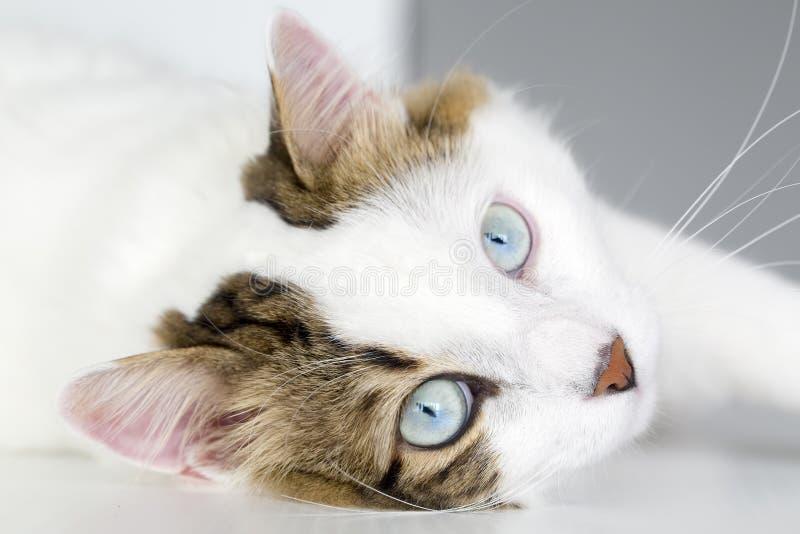 Ζώο της Pet  χαριτωμένη γάτα στοκ εικόνες