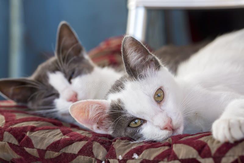 Ζώο της Pet  χαριτωμένη γάτα στοκ εικόνα