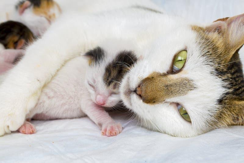 Ζώο της Pet  χαριτωμένη γάτα στοκ φωτογραφία