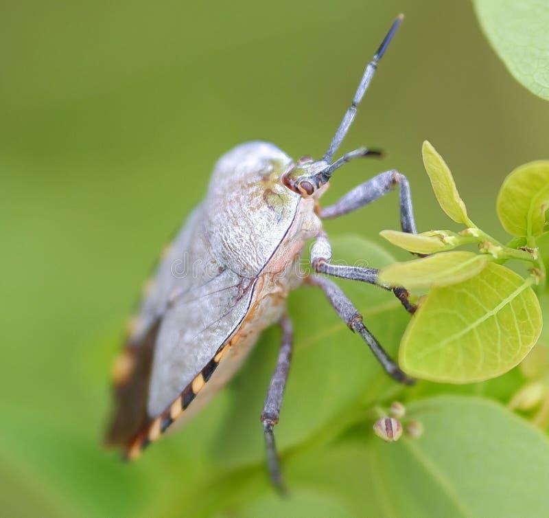 Ζώο φύσης εντόμων ζωύφιων πράσινο στοκ εικόνα