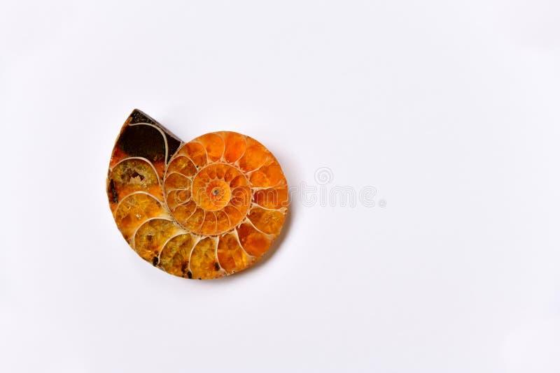 Ηλέκτρινος-χρωματισμένο ammonite κοχύλι, αρχαίο απολίθωμα στο άσπρο κλίμα στοκ εικόνες