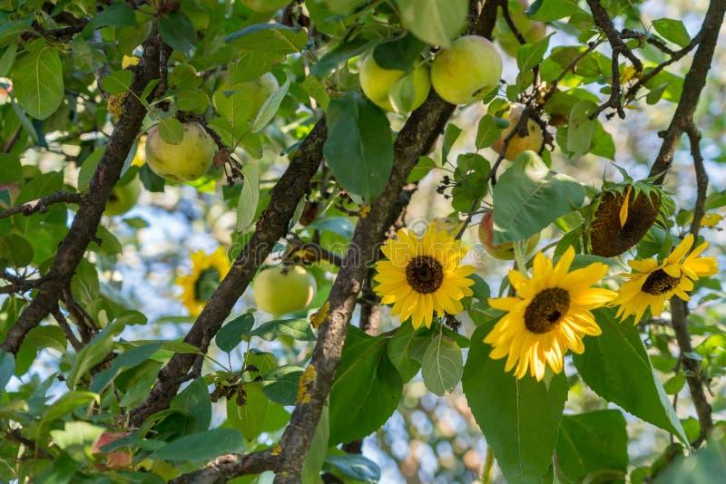 Ηλίανθοι και μήλα που αυξάνονται σε έναν κήπο στη Ρουμανία στοκ φωτογραφία με δικαίωμα ελεύθερης χρήσης