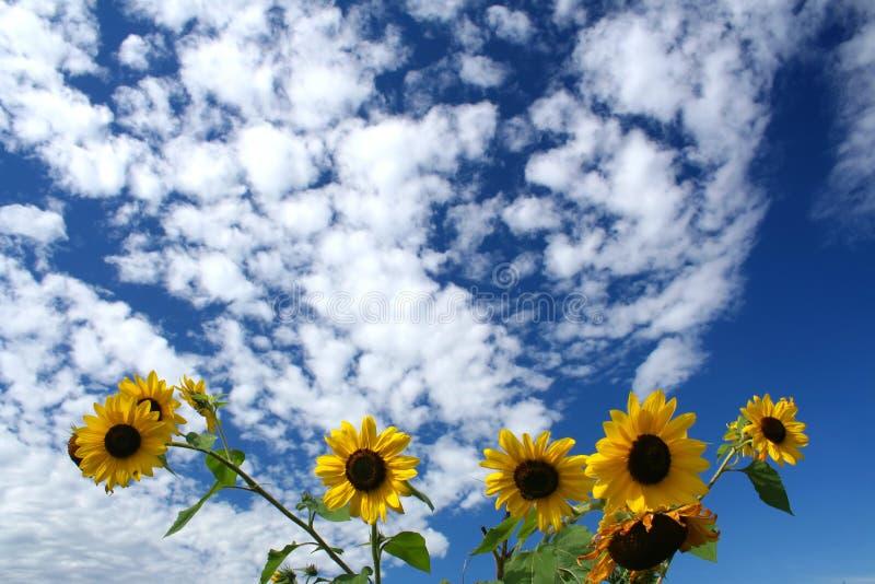 ηλίανθοι μπλε ουρανού κάτω στοκ φωτογραφίες
