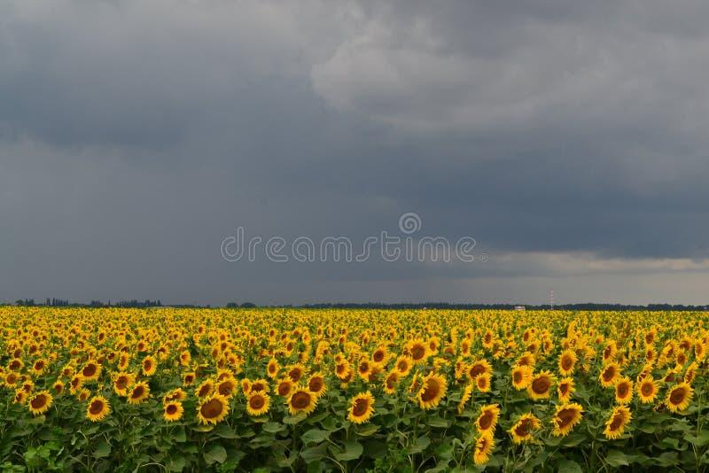 Ηλίανθοι πριν από τη βροχή στοκ εικόνες