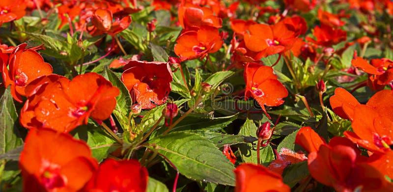 Ηλίανθος ή κόκκινο Helianthemum, πορτοκάλι, λουλούδι χορτοταπήτων για το ντεκόρ και διακόσμηση των οδών κρεβατιών λουλουδιών, κηπ στοκ εικόνα