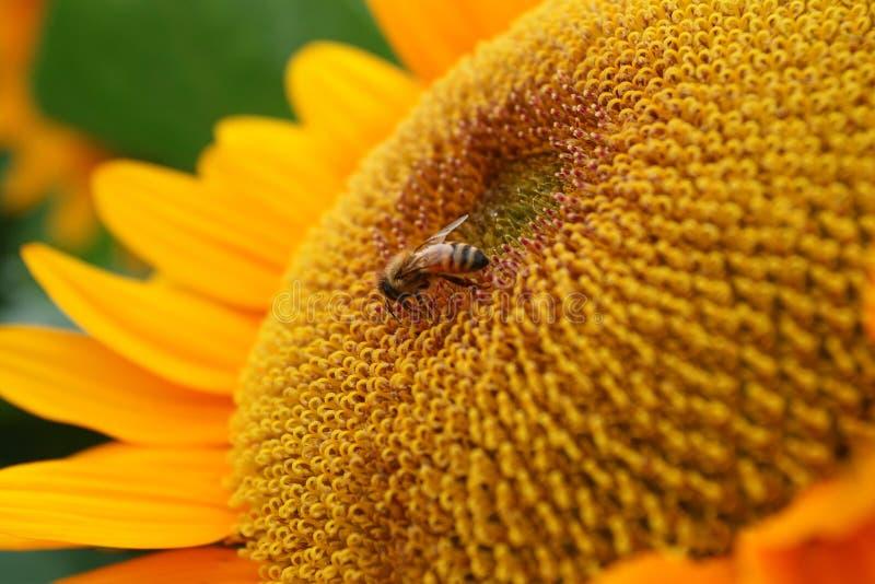 ηλίανθος μελισσών στοκ φωτογραφία