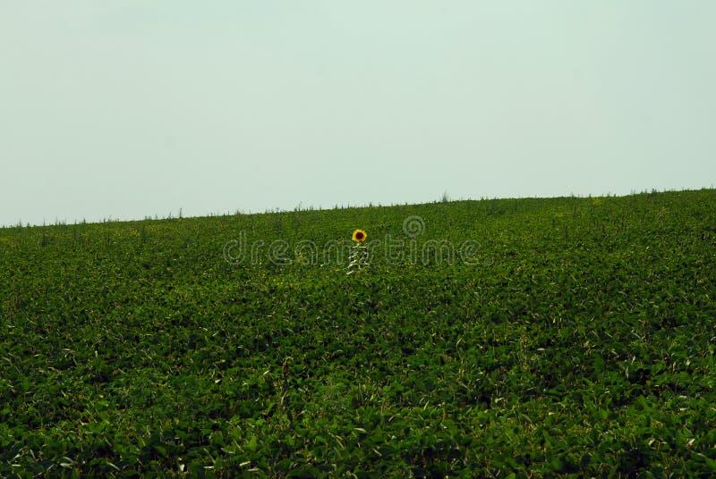Ηλίανθος μεταξύ του πράσινου τομέα το καλοκαίρι στοκ φωτογραφίες