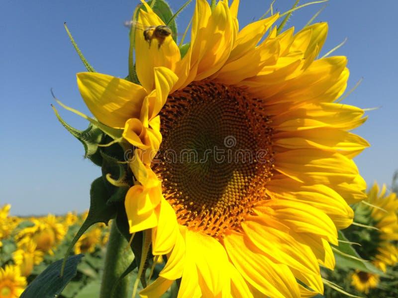 Ηλίανθος με τα χρυσά πέταλα Μια συνεδρίαση μελισσών σε ένα λουλούδι και συλλογή του νέκταρ στοκ εικόνες