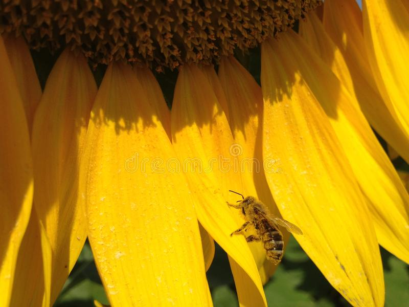 Ηλίανθος με τα χρυσά πέταλα Μια συνεδρίαση μελισσών στο α τα φύλλα ως υπόβαθρο στοκ εικόνες