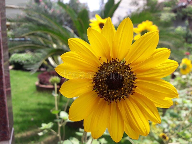 Ηλίανθος ο δονούμενος, ισχυρός ηλίανθος είναι αναγνωρισμένη παγκοσμίως για την ομορφιά του στοκ εικόνες